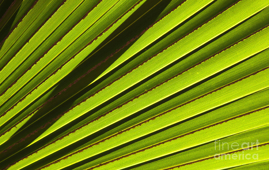 Palm Leaf Photograph - Palm Lines by Mike  Dawson