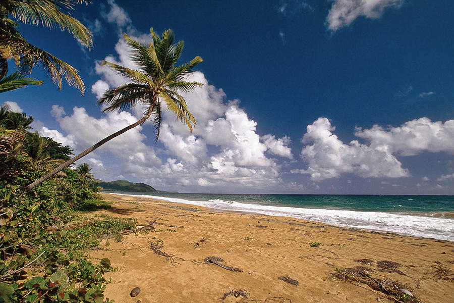 Beach Photograph - Palm Tree On Maunabo Beach Puerto Rico by George Oze