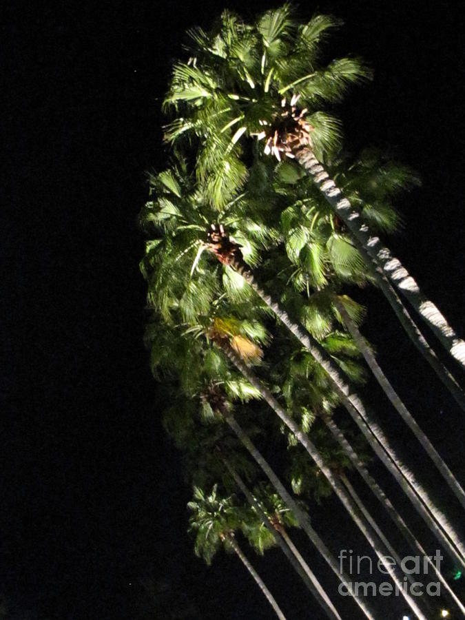 Palm Photograph - Palm Trees At Night by Gayle Melges