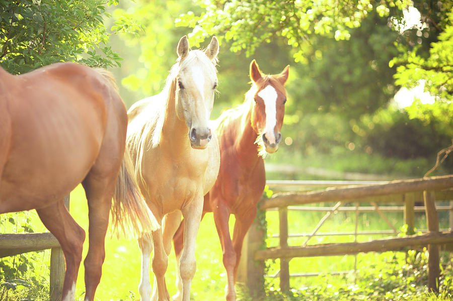 Palomino And Chestnut Horse Photograph by Sasha Bell