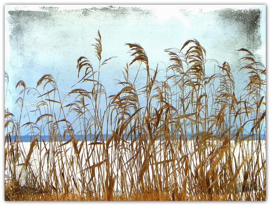 Pampas Grass Ornamental Nature Scenery Lake Winter Northwestern Ontario Canada  Photograph - Pampas Grass by Dianne  Lacourciere