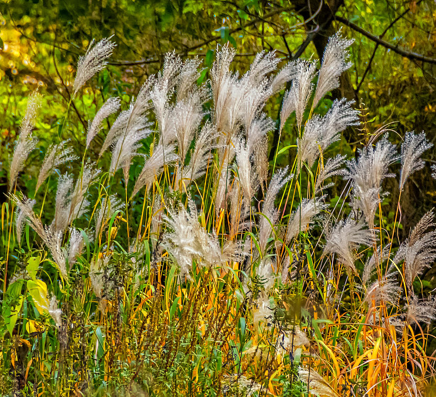 Steve Harrington Photograph - Pampas Grass by Steve Harrington