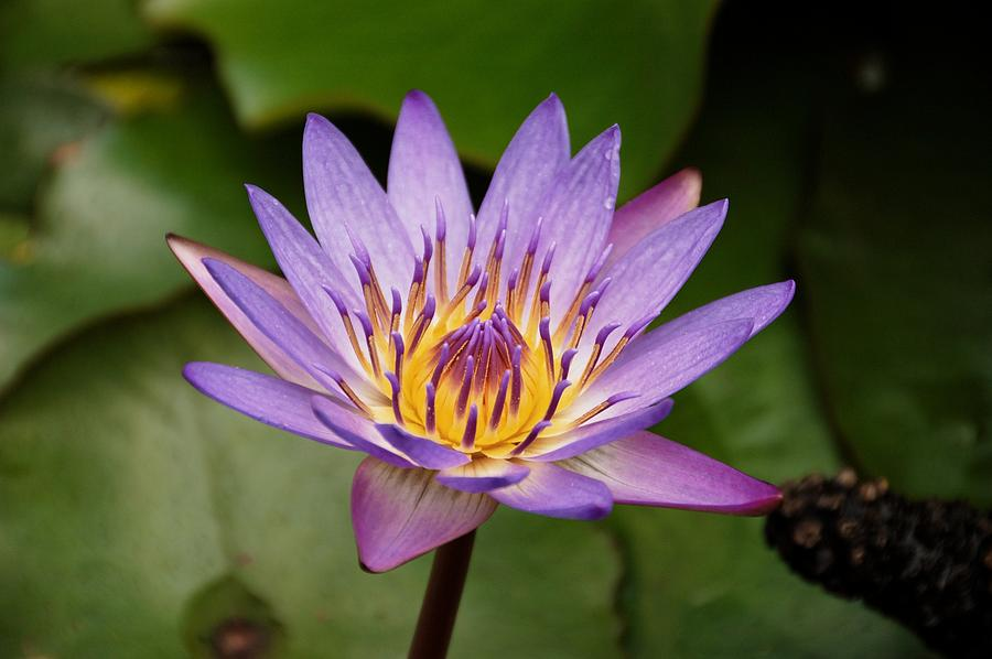 Flower Photograph - Panama Pacific Water Lily by Trever Miller