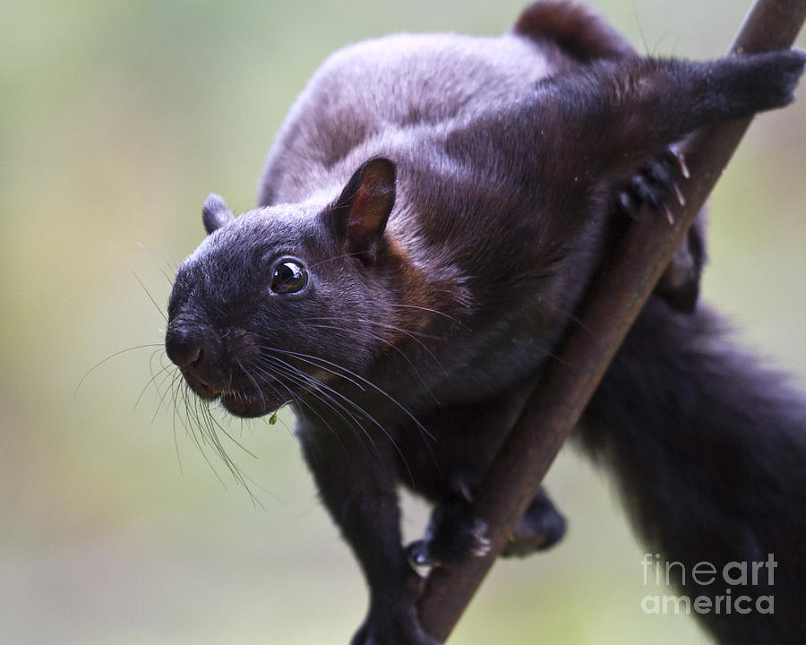 Nature Photograph - Panamanian Tree Squirrel by Heiko Koehrer-Wagner