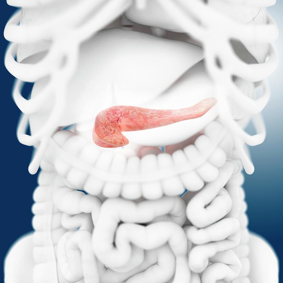 Pancreas Photograph - Pancreas by Springer Medizin