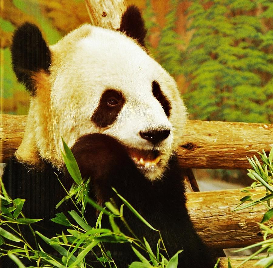 Animals Photograph - Panda Bear by Al Fritz