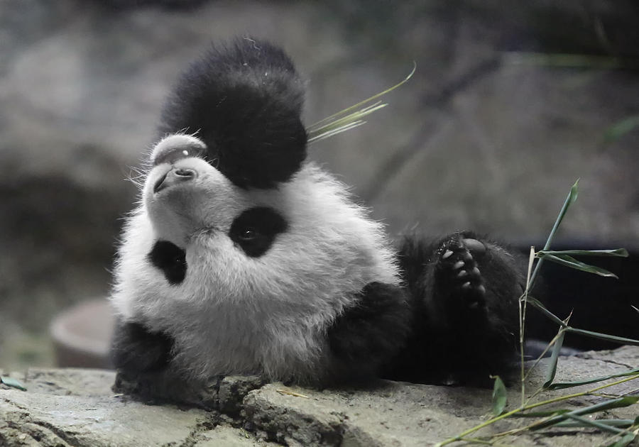 Panda Photograph - Panda Cub At National Zoo by Jack Nevitt