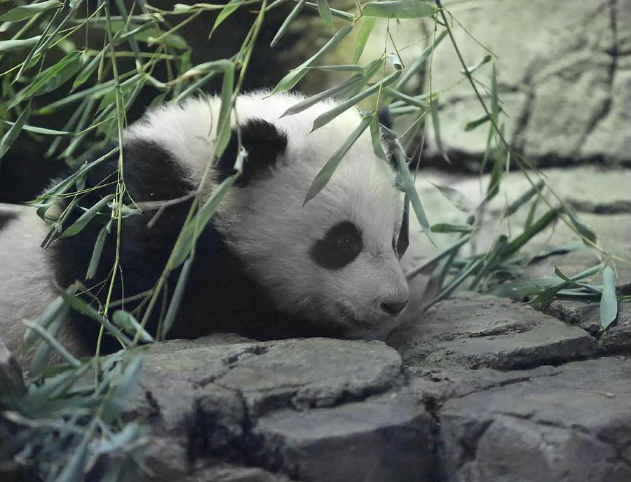Panda Photograph - Panda Cub Bao Bao by Jack Nevitt