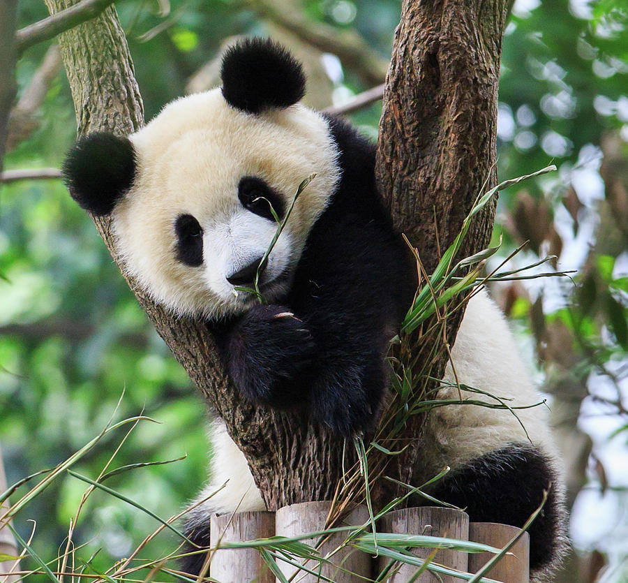 Panda Cub Resting On Tree Photograph by Feng Wei Photography