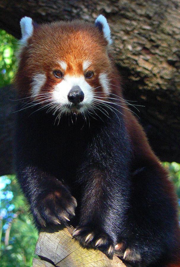 Red Panda Photograph - Panda Paws by Margaret Saheed