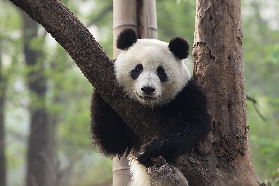 Panda Resting In A Tree Photograph by Image By Jay Schipper