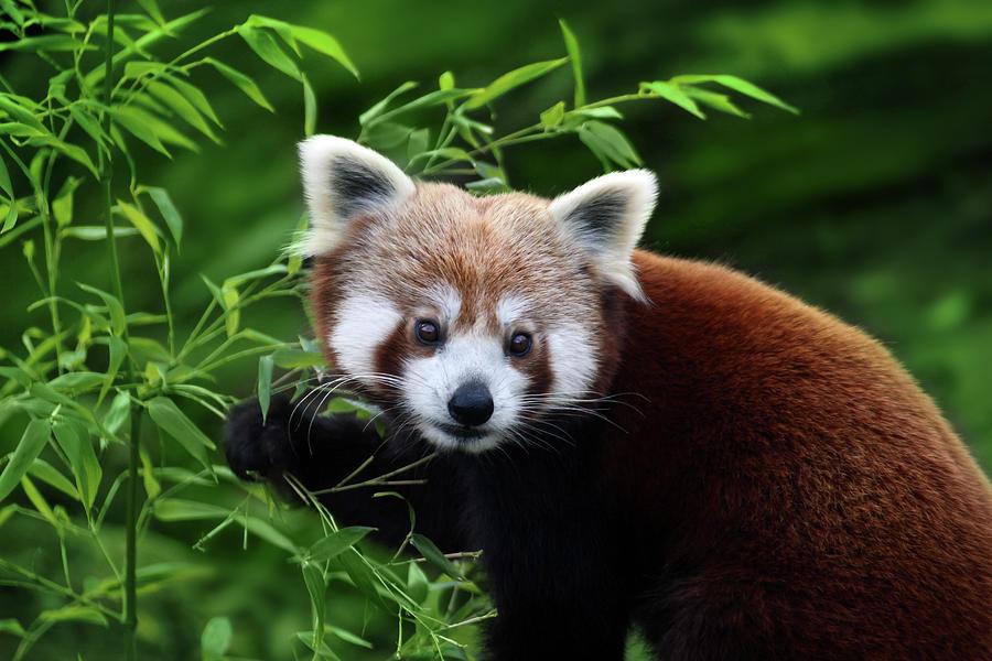 Panda Rojo Comiendo Bambú Photograph by Retales Botijero