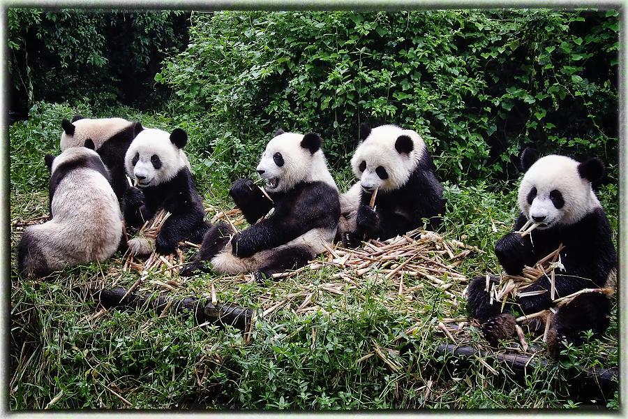Animal Photograph - Pandas In China by Joan Carroll