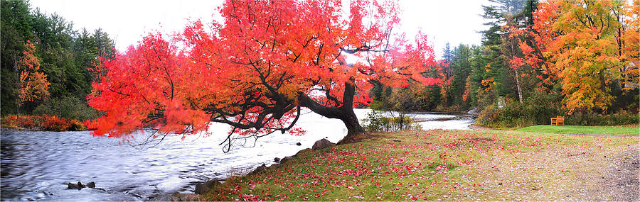 Light Photograph - Panorama Of Red Maple Tree, Muskoka by Henry Lin
