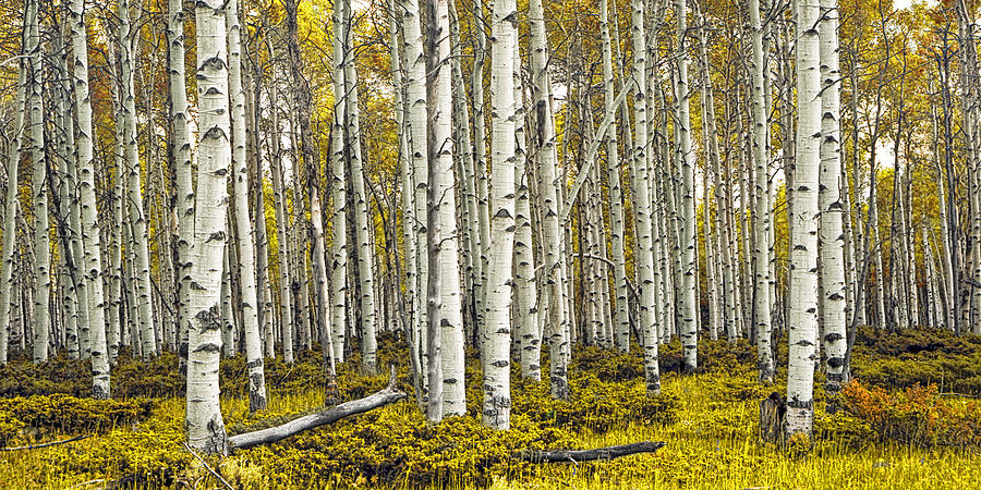Panoramic Birch Tree Forest Photograph By Randall Nyhof