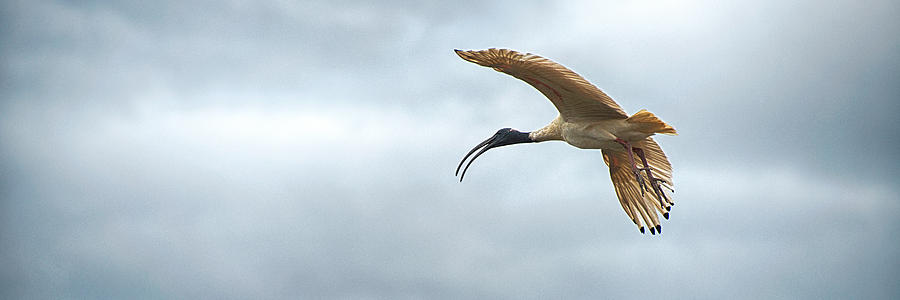 Australia Photograph - Panoramic Photo Of Flying Ibis by Yew Kwang