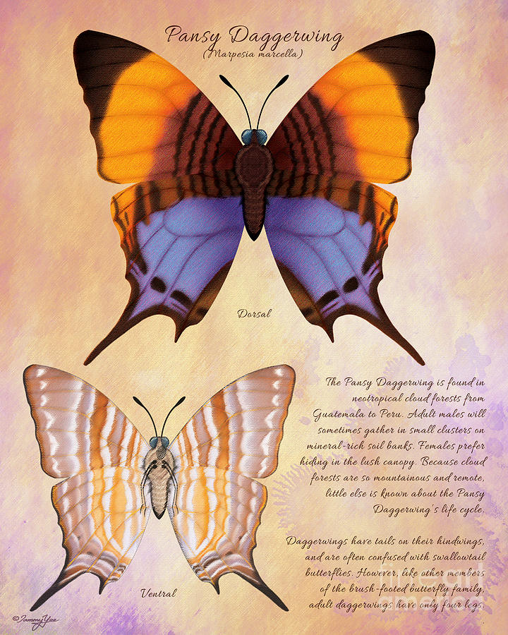 Butterfly Painting - Pansy Daggerwing Butterfly by Tammy Yee