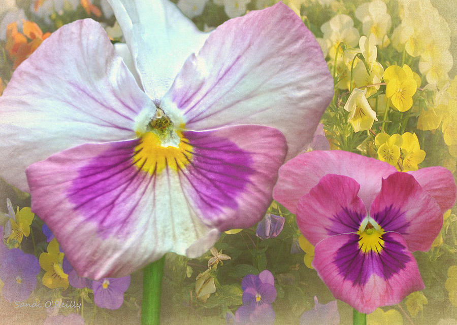 Pansy Photograph - Pansy Duo by Sandi OReilly