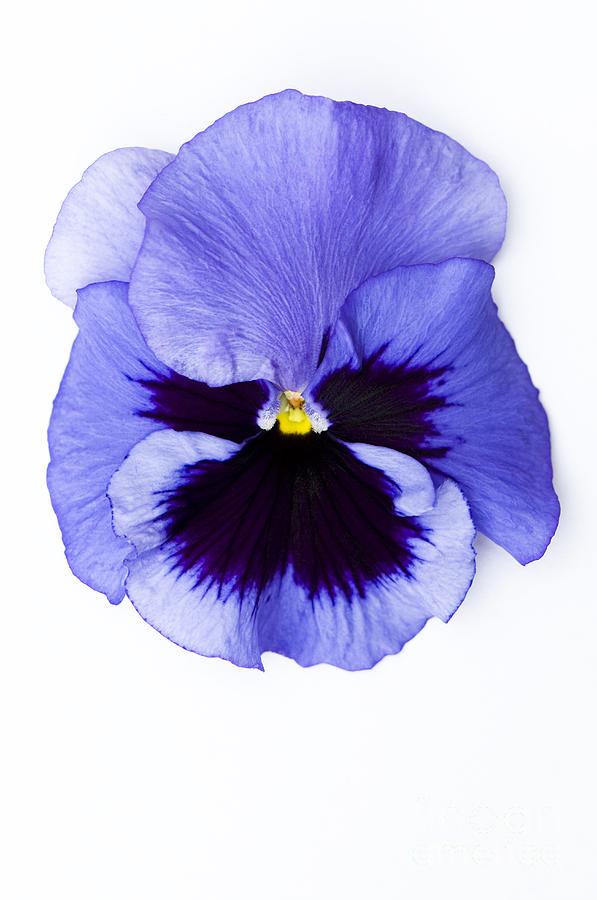 1 Photograph - Pansy Face by Anne Gilbert