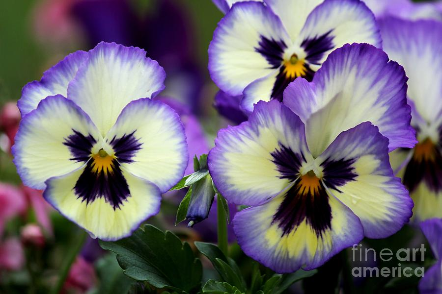 Purple Flowers Photograph - Pansy Faces by Theresa Willingham