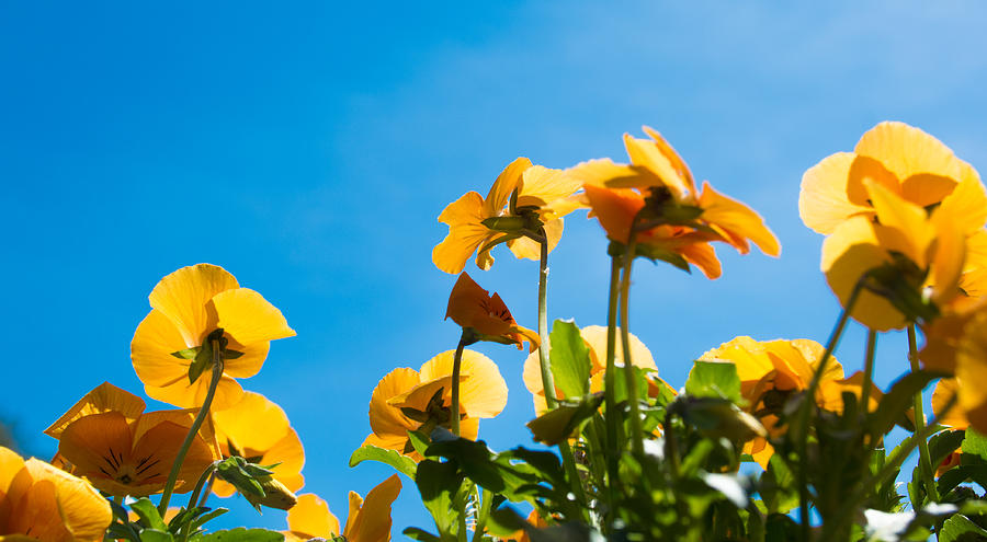 Pansy Photograph - Pansy Flowers And The Clear Blue Sky by Priyanka Ravi