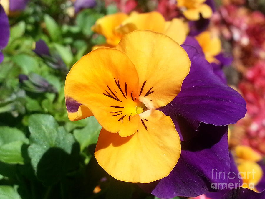 Viola Tricolor Hortensis Photograph - Pansy by Heather L Wright