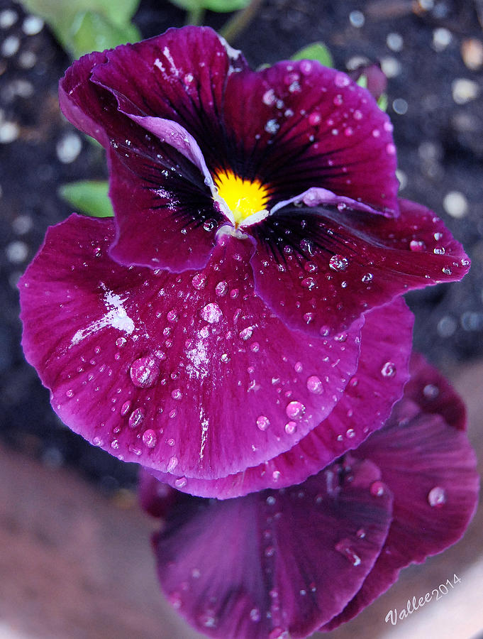 Flower Photograph - Pansy In The Dew by Vallee Johnson