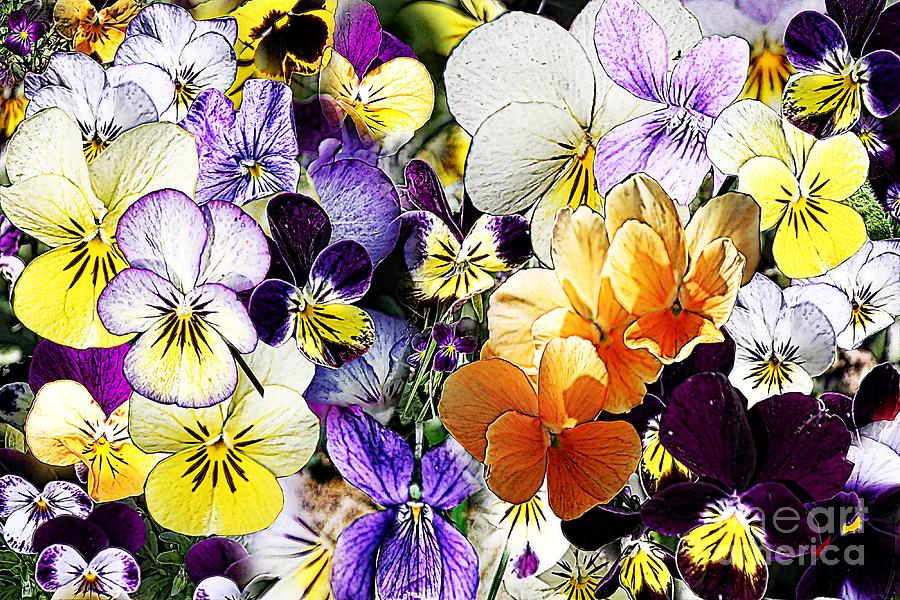 Pansy Photograph - Pansy Posy by Erica Hanel