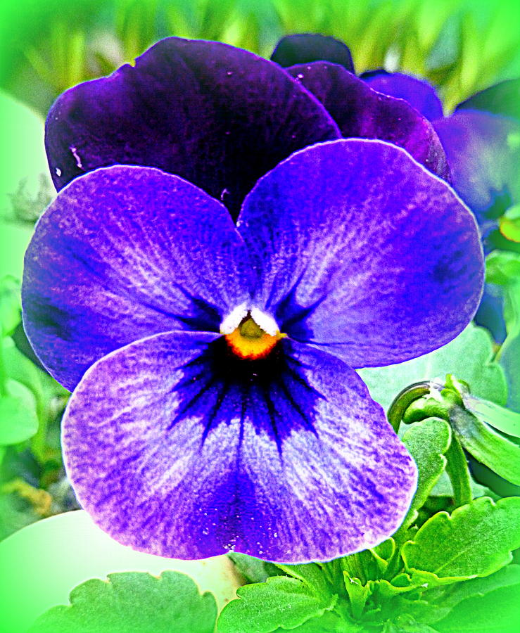Pansy Photograph - Pansy by The Creative Minds Art and Photography