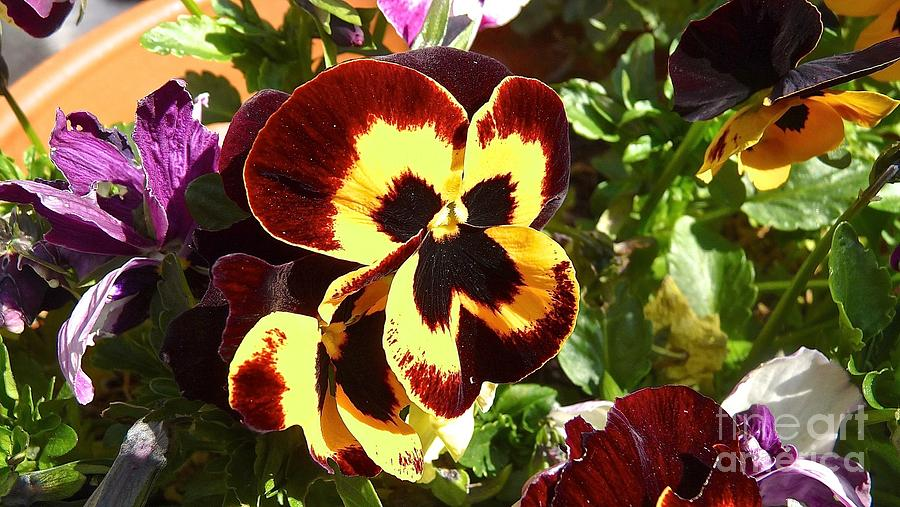 Pansy Photograph - Pansy Time by Julie Koretz