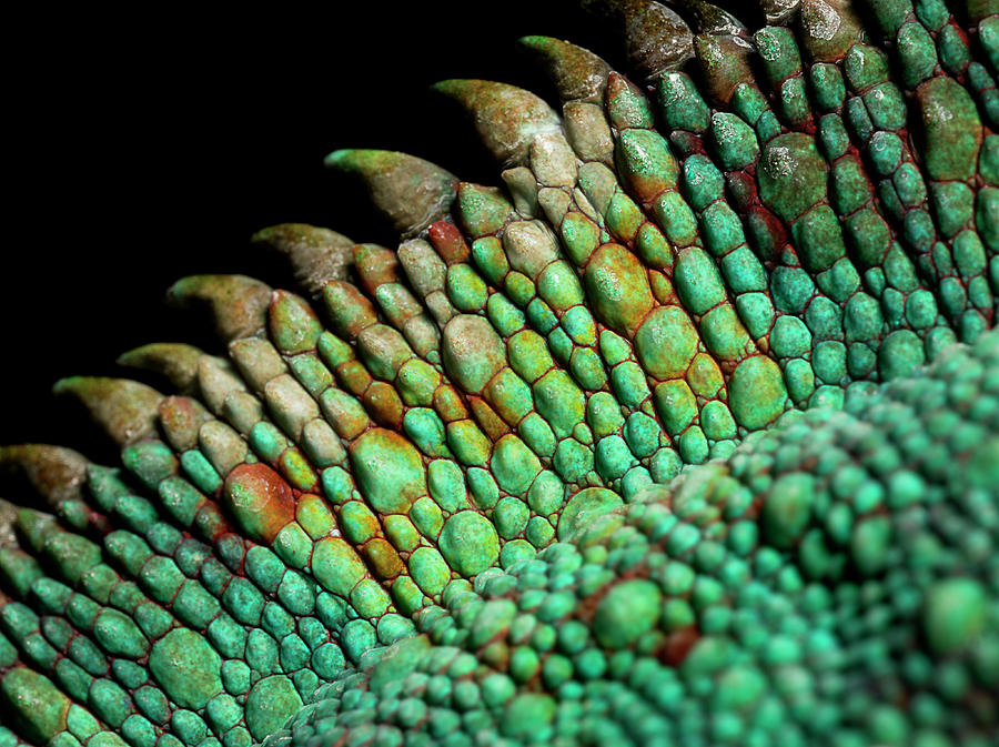 Panther Chameleon, Close Up On The Spine Photograph by Jonathan Knowles