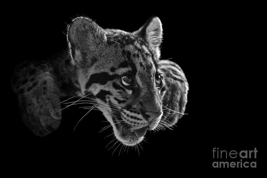 B&w Photograph - Panting Beauty by Ashley Vincent