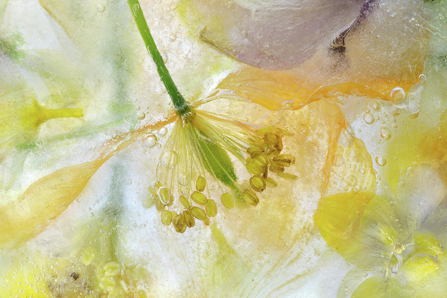 Papaver Photograph - Papaver Ice by Mandy Disher