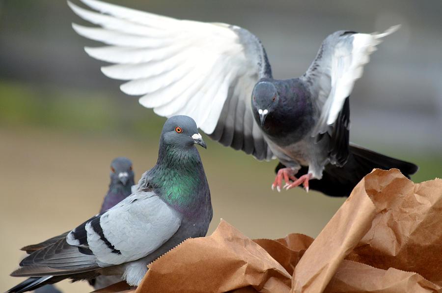 Pigeons Photograph - Paper Bag Pigeons 2 by Fraida Gutovich