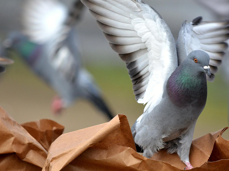 Pigeon Photograph - Paper Bag Pigeons by Fraida Gutovich