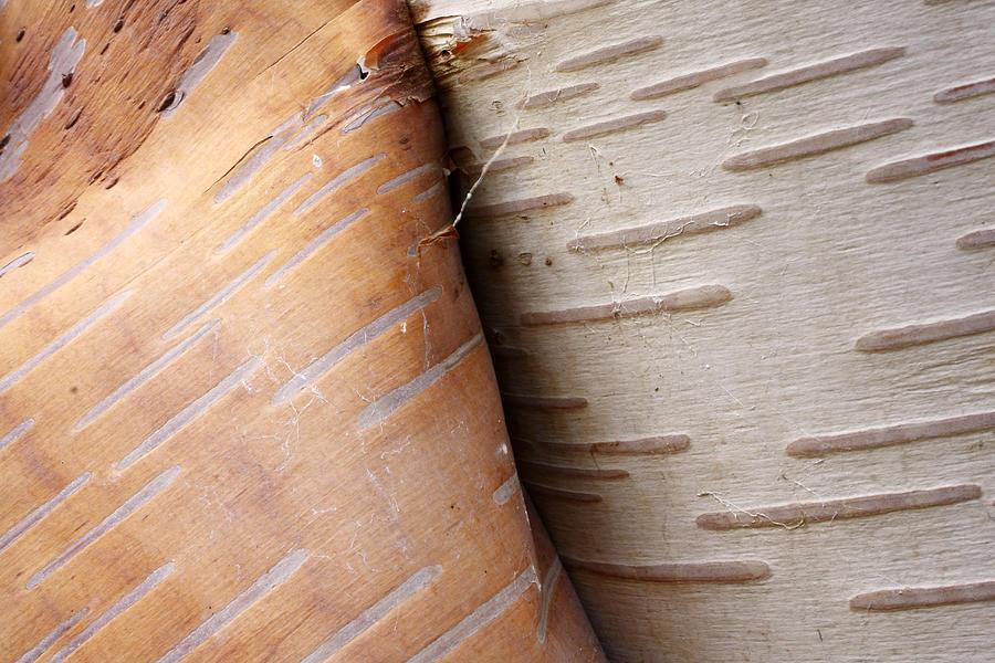 Paper Birch Bark Photograph by Scott Leslie
