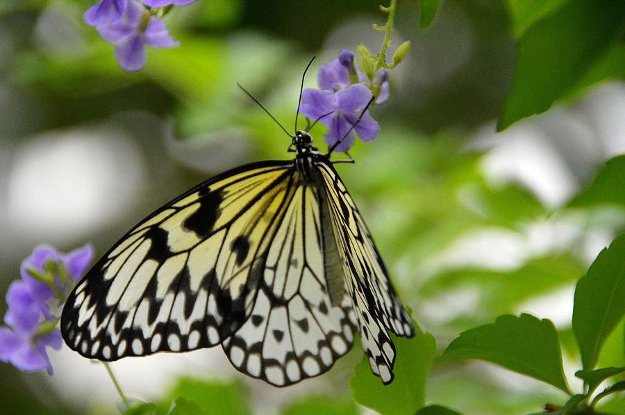Nature Photograph - Paper Kite  Idea leuconoe 2 by David Earl Johnson
