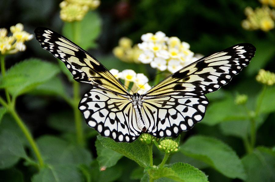 Butterfly Photograph - Paper Kite  Idea leuconoe by David Earl Johnson
