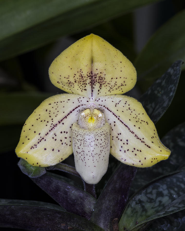 Close Up Photograph - Paphiopedilum Concolor Orchid by Gerald Murray Photography