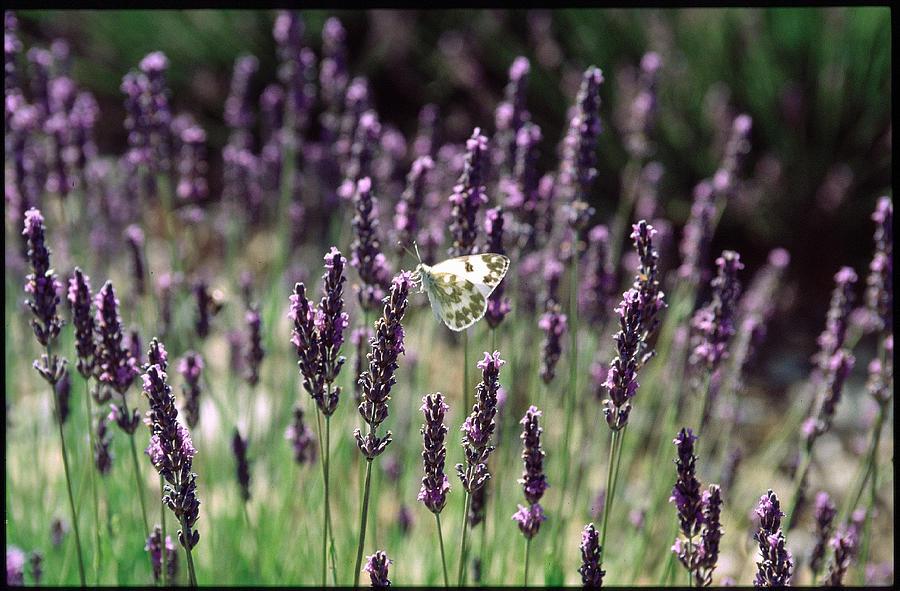 Lavender Photograph - Papillon Dans La Lavande by Kim Lessel