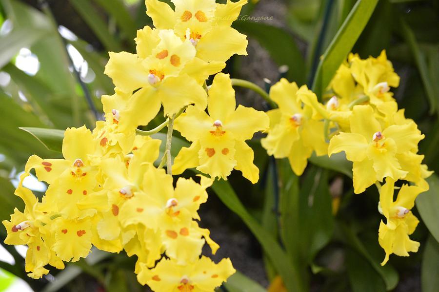 Yellow Photograph - Paradise Orchid  by Sonali Gangane