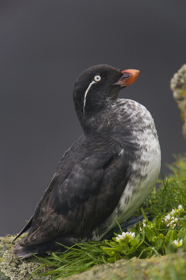 Burcham Photograph - Parakeet Auklet Sitting In Green by Milo Burcham