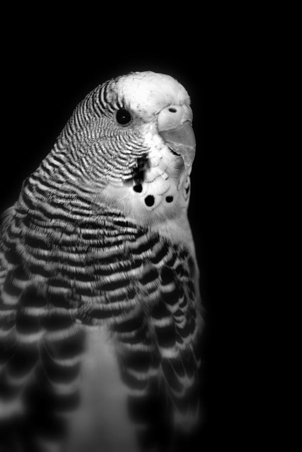 Parakeet Photograph - Parakeet by Nathan Abbott