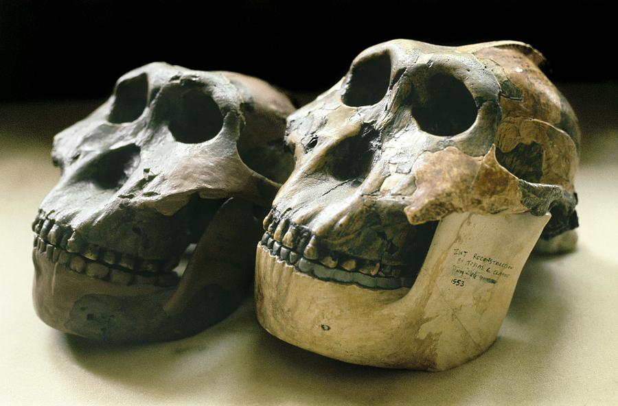 Paranthropus Boisei Photograph - Paranthropus Boisei Skulls by Science Photo Library