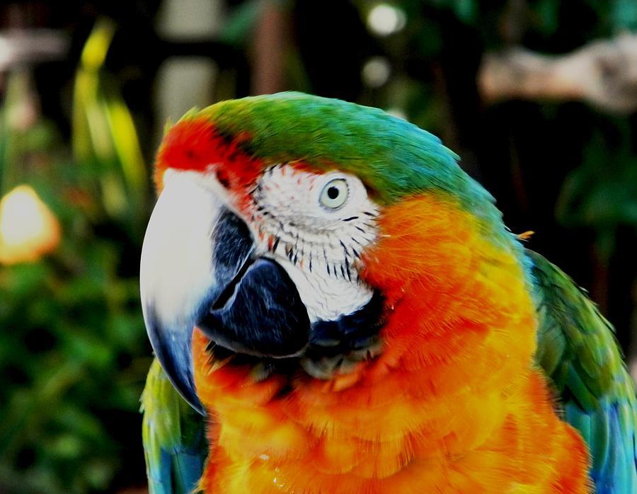 Parrot Nature Photograph - Parrot  by Bruce Kessler