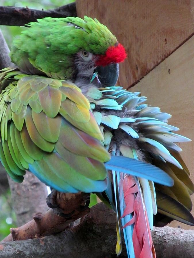 Nature Photograph - Parrot Feathers by Loretta Pokorny