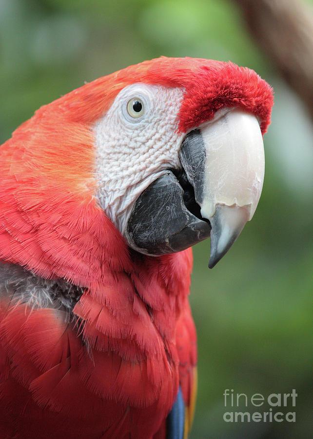 Parrot Photograph - Parrot Profile by Carol Groenen