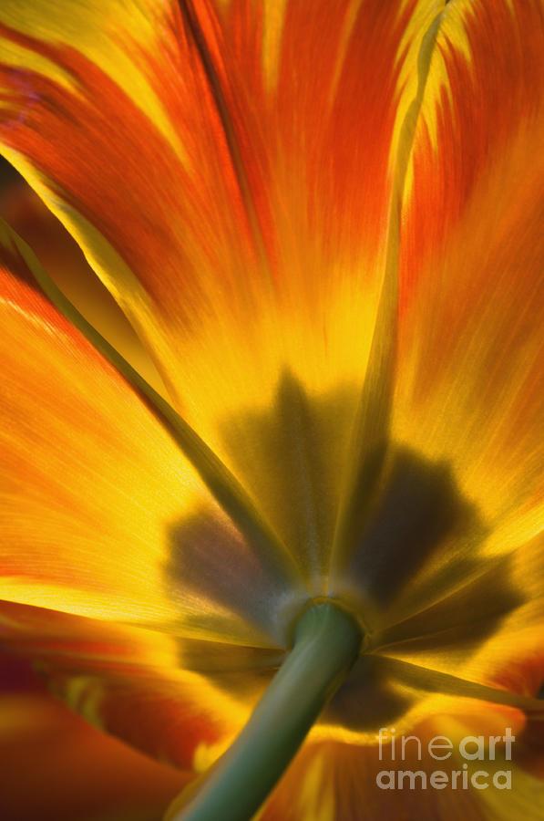 Parrot Photograph - Parrot Tulip - D008405 by Daniel Dempster