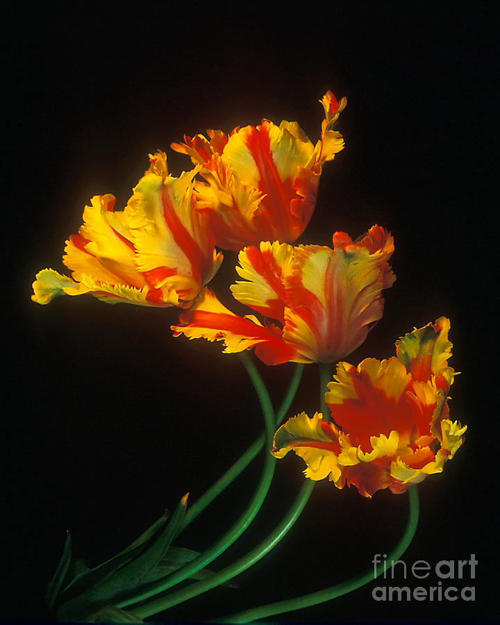 Parrot Tulips on Easter Morning vertical by Teri Brown