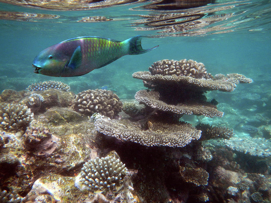Parrotfish On The Barrier Reef At Photograph by Federica Grassi